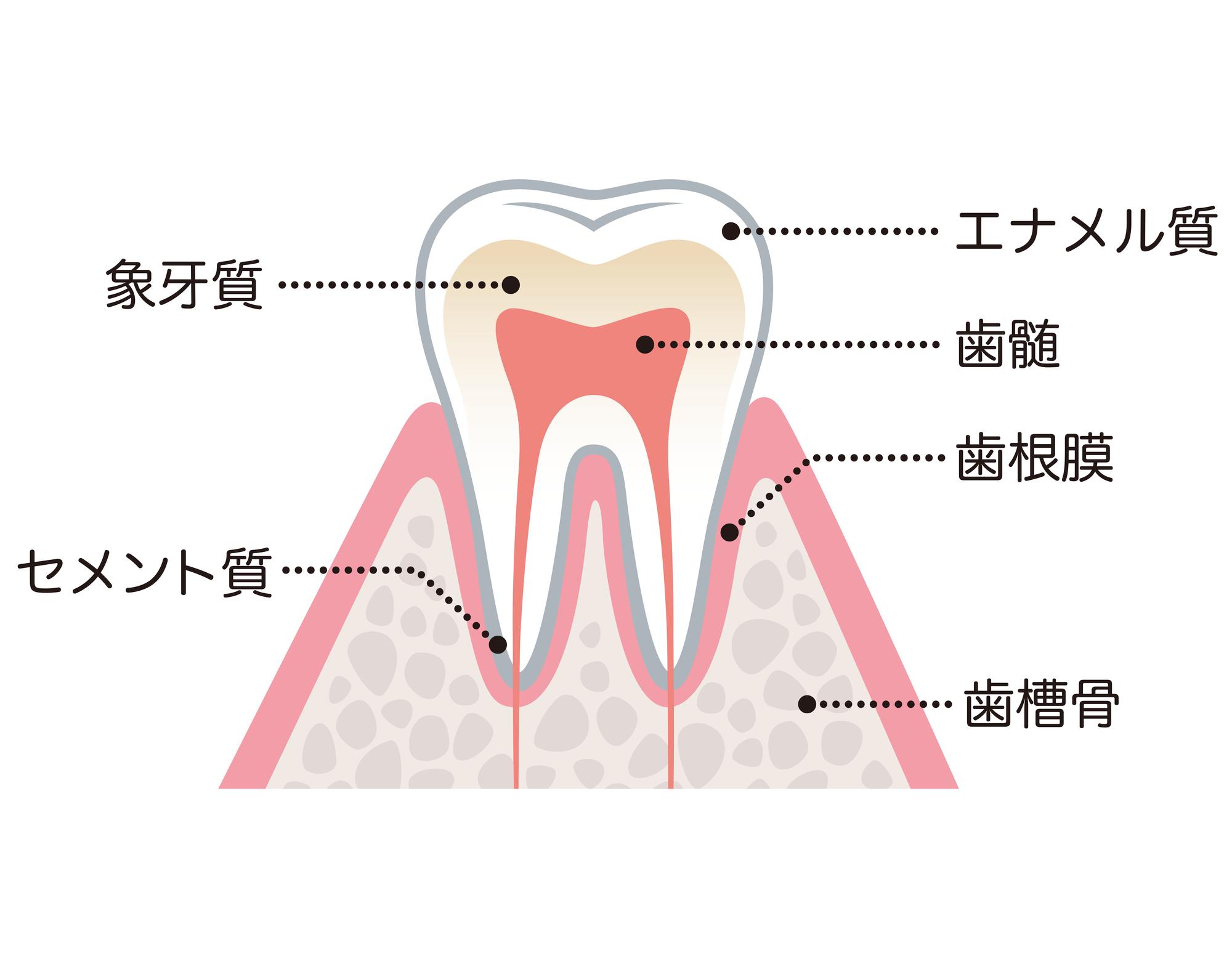 歯周組織の名前が分かるイラスト