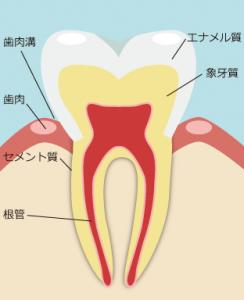 虫歯の構造