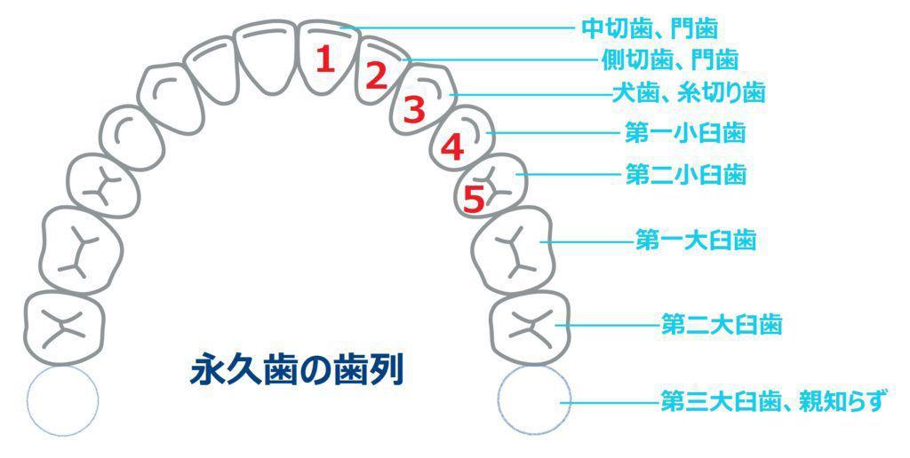 歯列 (5番目まで)