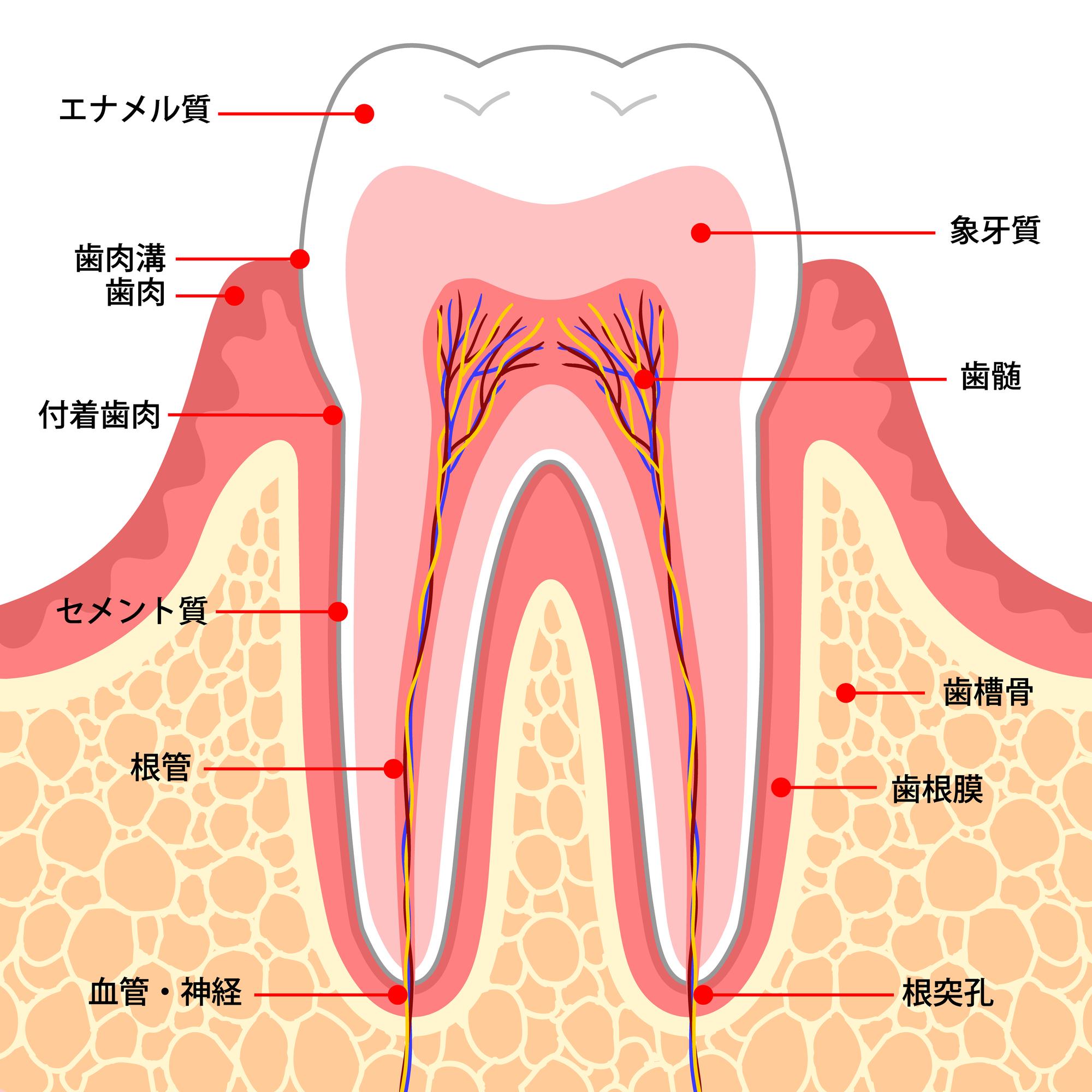 歯の構造のイラスト