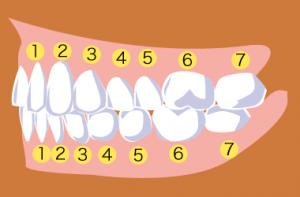 「歯列番号」を記載した歯のイラスト