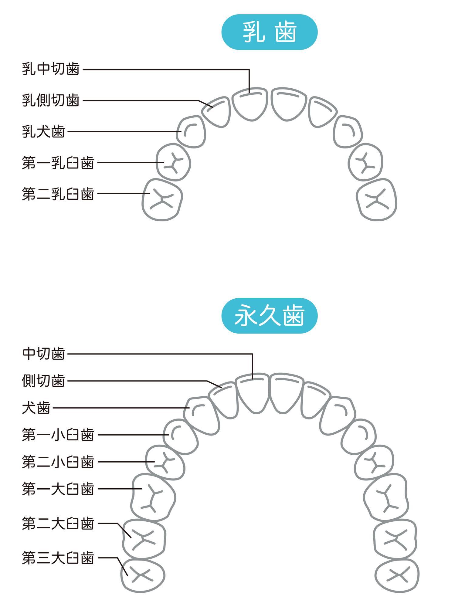 犬歯と乳歯のイラスト